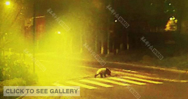 A giant panda seen at a zebra crossing in downtown Yingxiu, a city in Southwest China's Sichuan province in the early hours of the morning on March 5, 2015. (Photo/West China Metropolitan Daily)