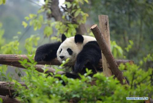 A giant panda is seen at Chengdu Research Base of Giant Panda Breeding in Chengdu, capital of southwest China's Sichuan Province, March 31, 2015. (Photo: Xinhua/Xu Yubin)