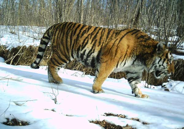 An image of a Siberian tiger taken with an infrared camera in Hunchun, Jilin province. (Photo/Xinhua)