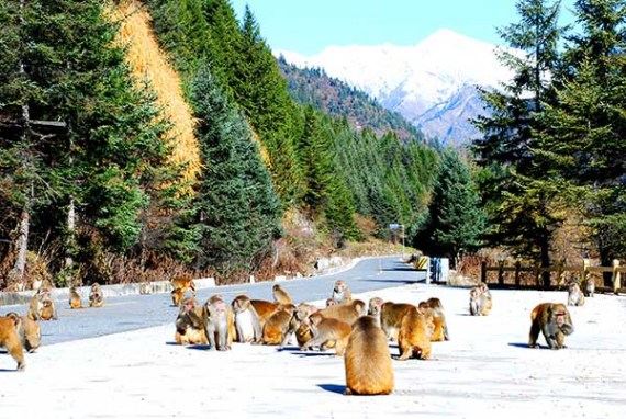 Monkeys at the Dagu glacier (Photo provided to China Daily)