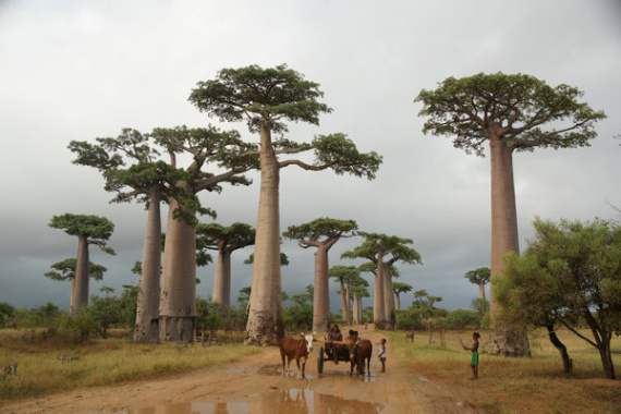 Yang Min, a former Chinese ambassador to Madagascar, gives a detailed introduction of different aspects of the country, including majestic baobab trees, in his new book. (Photo provided to China Daily)