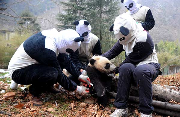 Researchers dressed as pandas conduct a checkup on a cub at the Hetaoping reintroduction base in Sichuan province.Provided To China Daily