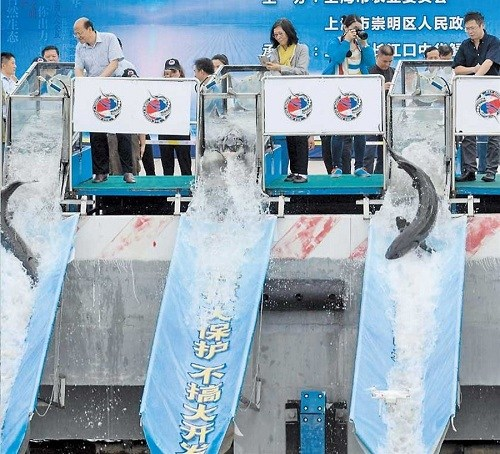 Chinese sturgeons and sharks are released yesterday into the Yangtze River's mouth at Chongming Island. The aim is to better protect aquatic organisms.(Ti Gong)