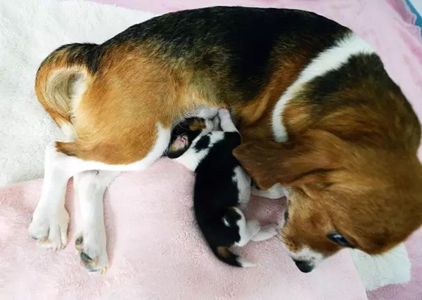 The mother dog feeds the puppy Longlong.