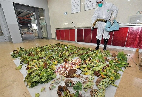 An inspection officer sprays chemicals on seeds and plants prior to destroying them. (Xu Cheng)