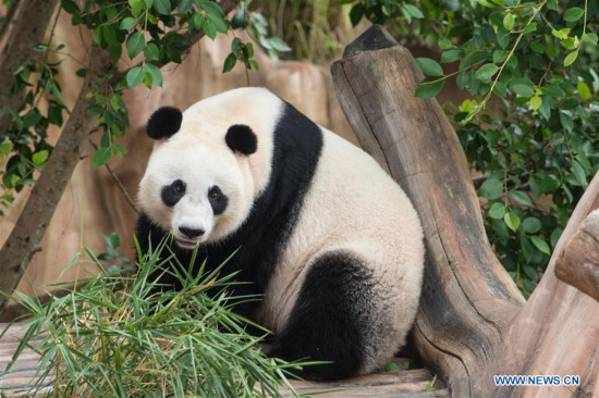 Photo taken on Nov. 2, 2017 shows the Chinese giant panda Hu Chun at the Indonesia Panda Castle in Taman Safari Indonesia. Indonesian officials supervising the Chinese giant pandas now kept in the nation's safari park said on Thursday that the exotic animals were ready for public expose in the near future after completing a 31-day quarantine period. (Xinhua/Du Yu)