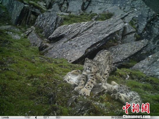 Four snow leopards together in the same picture. (Photo provided by Wolong National Nature Reserve)
