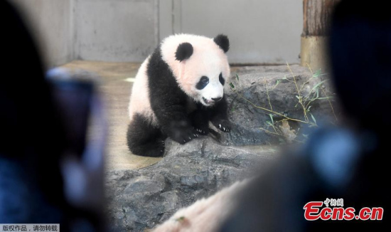 People look at female giant panda cub Xiang Xiang at Ueno Zoo in Tokyo on December 19, 2017. Xiang Xiang appeared to the public the first time at the zoo. (Photo/Agencies)