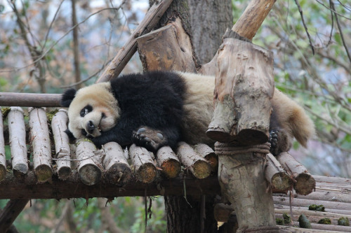 Xiao Ya, a panda that recently contracted an eye disease, rests at Chengdu Research Base of Giant Panda Breeding in Sichuan province on Thursday. (Photo by HU DATIAN/FOR CHINA DAILY)