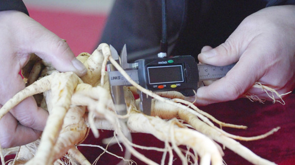 A staff member measures the wild ginseng root. (Photo provided to chinadaily.com.cn)