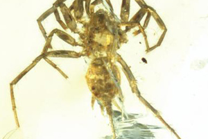 100 million-year-old spider with tail found in amber