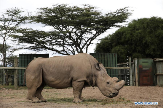 Photo taken on April 28, 2016 shows Sudan, the last male northern white rhino in the world, at Ol Pejeta Conservancy in Nanyuki, Kenya. (Xinhua/Pan Siwei)
