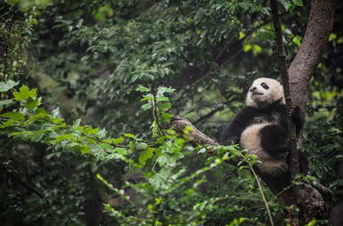 A panda looks into the distance at the Chengdu Research Base of Giant Panda Breeding. (Photo: Li Hao/GT)