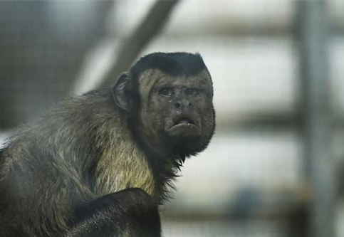 'Square human face' monkey is China's latest online celebrity