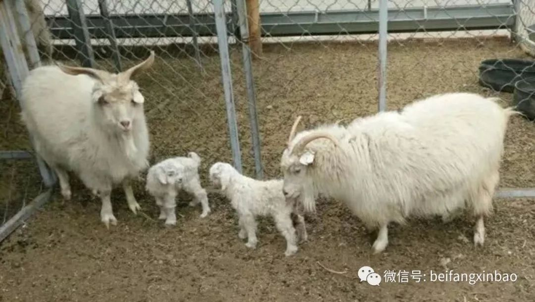 Progeny of world's first cloned cashmere goat born in China