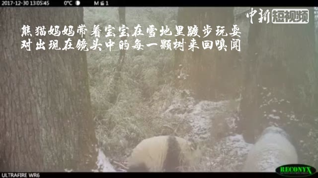 Wild panda family caught on camera in SW China