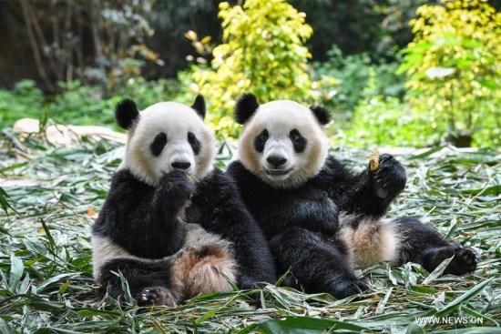 2018年3月28日,大熊猫双胞胎秦勤和艾艾在广东省广州市长隆野生动物园吃饼干。(新华社/刘大伟)