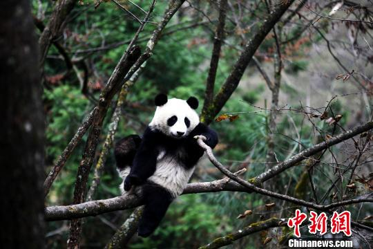Panda found in wild few months after release
