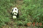 Rangers work hard to protect giant pandas in shrinking habitats during spring mating season