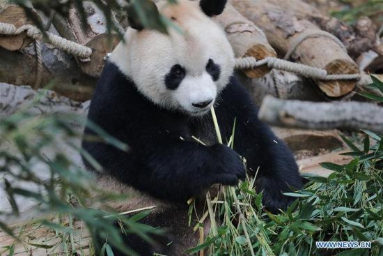 大熊猫星期天在中国西南贵州与公众见面