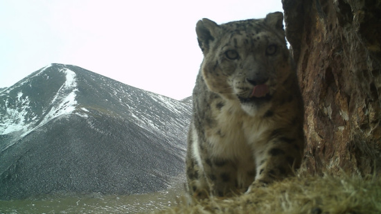 A snow leopard is captured by an infrared camera on the Amney Machen Mountain. /Plateau Nature Conservancy Photo