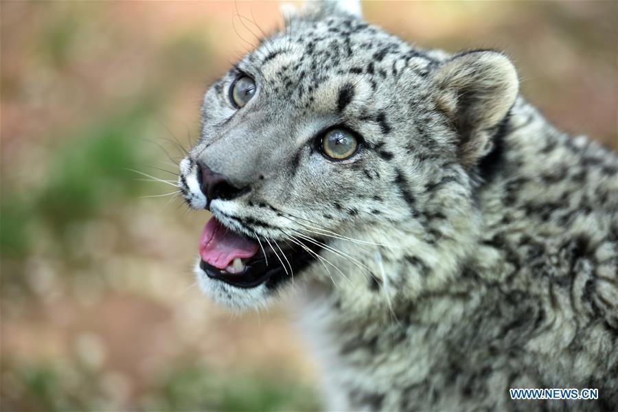 世界自然基金会:试图保护雪豹的范围和捕食动物物种