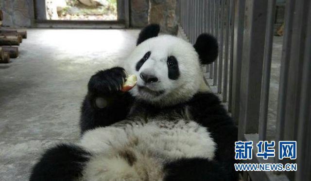 Panda receives rehabilitation after complex surgery