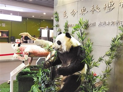 Giant panda's body parts go on display in Sichuan