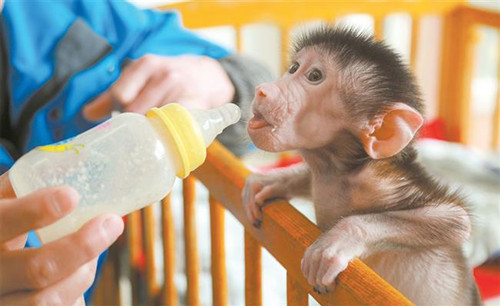 A caretaker feeds milk to a baby hamadryas baboon. (Photo.Shine.cn)