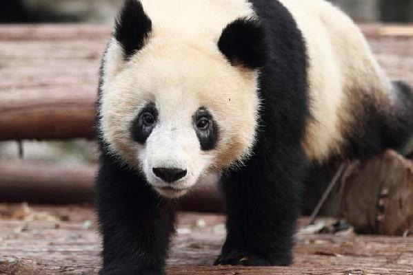 Pandas get eye disease; experts can't tell why