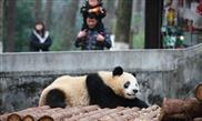 Concern rises as black eye patches of more Sichuan base pandas turn white