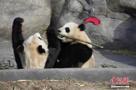 Canada pandas to get fresh bamboo flown from China