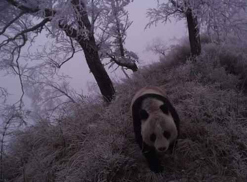 Good news for pandas: 4 pairs spotted in Q1