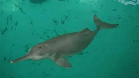 Critically endangered Chinese dolphin 'spotted' in Yangtze River