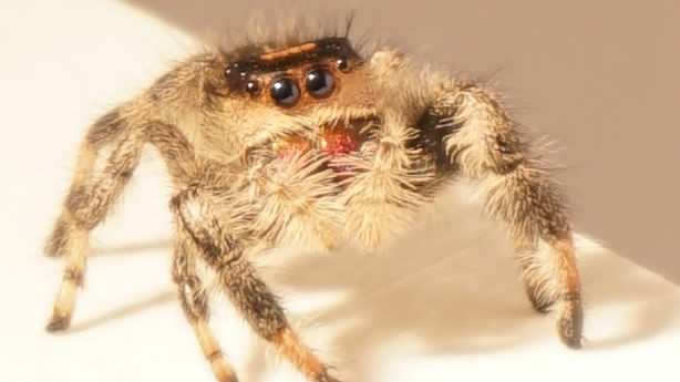 British scientists discover secrets of animal movement by training spiders