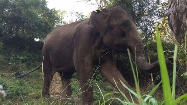 Saving China's elephants: The war between elephants and humans