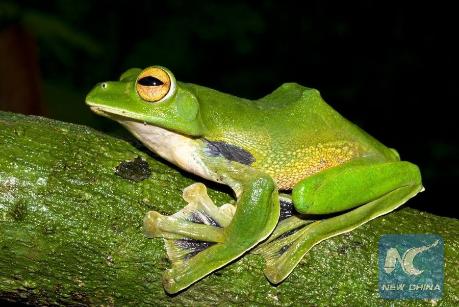 Frog-killer fungus originate from East Asia: study
