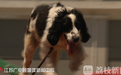 Bingjie the dog: a Wenchuan earthquake hero