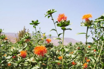 Safflower plants come to the desert