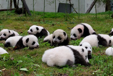 Pandas also rebound from disaster