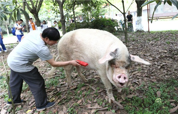 Persistent pig still inspires years later