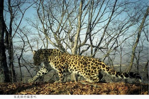 Signs of wild Amur leopards reported in Jilin