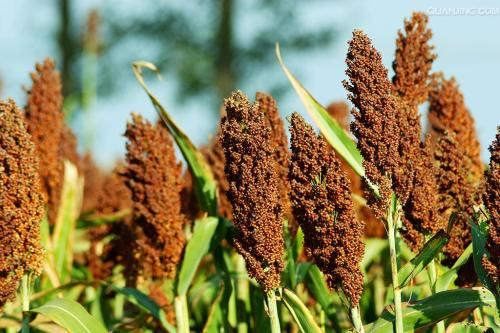 Anti-dumping measures on U.S. sorghum will not greatly impact China: MOC