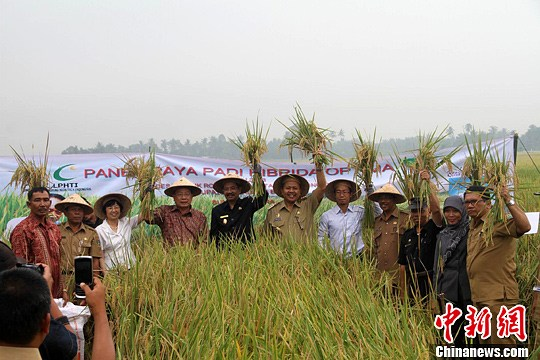 A ceremony was held Tuesday in Indonesia's North Sumatra province to celebrate the successful harvest of Chinese hybrid rice in a field test.[photo: Gu Shihong]