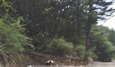 Nimble wild panda spotted 'hurry for dinner' at Sichuan