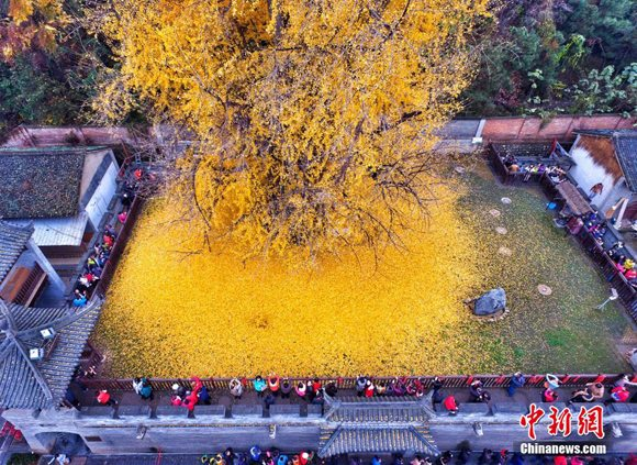 This file photo shows a 1,400-year-old ginkgo tree in Guanyin Zen Temple in Xi'an City, Shaanxi Province. (File photo/VCG)