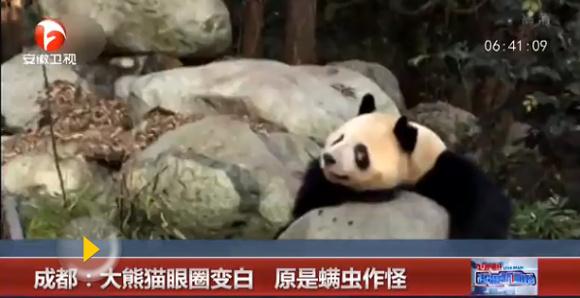 A panda in the Chengdu Research Base of Giant Panda Breeding. (Photo/Video screenshot)