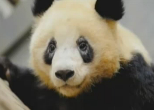 Experts seek cause of white-rimmed eyes in pandas