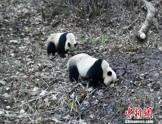 Four wild panda families spotted in Baishuijiang reserve