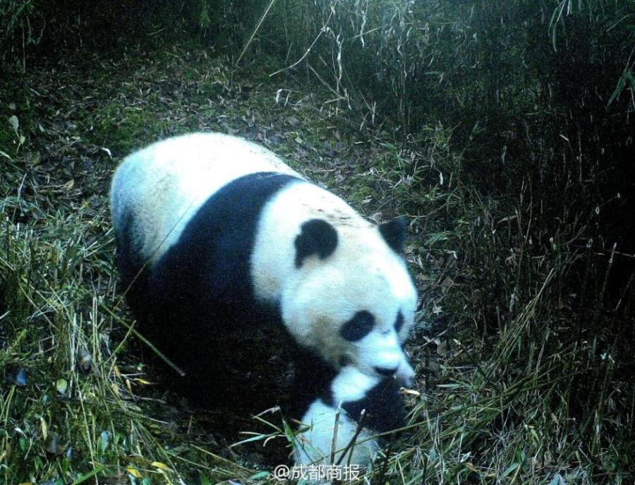 Wild panda with cub in mouth spotted for first time in Jiuzhaigou ...